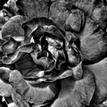 Rose In Black And White by Nina Ficur Feenan