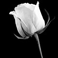 Rose In Black And White by William Haney
