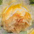 Rose In Bloom  by Cathy Anderson