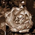 Rose In Iron Light by Vineta Marinovic