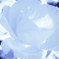 Rose In Light Blue And White by Debra Lynch
