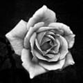 Rose In Mono. #flower #flowers by John Edwards