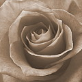 Rose In Sepia by Luciana Seymour