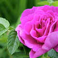 Rose In The Afternoon by Line Gagne