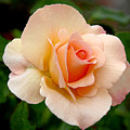 Rose Is A Rose Is A Rose by Christine Till