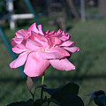 Rose by Jasmin Hrnjic