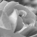 Rose by John Bradburn