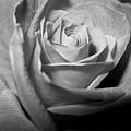 Rose by Lindsey Orlando