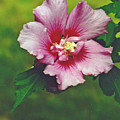 Rose Of Sharon Blossom by Sharon Barone