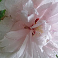 Rose Of Sharon In The Rain by Claudia Goodell