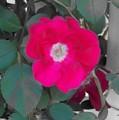 Rose On A Trellis by Elise Samuelson