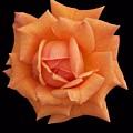 Rose On Black Velvet by Ellen B Pate