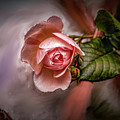 Rose On Paint #g5 by Leif Sohlman