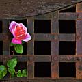 Rose On Trellis by Armando Picciotto