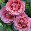Rose  by Philip Enticknap