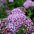 Rose Pink Japanese Spirea by Sarah Malley
