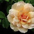 Rose Rain by Jessica Jenney