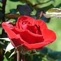 Rose Red by Lorna Hooper
