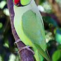 Rose-ringed Parakeet by Jennifer Robin