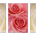 Rose Series  by Jill Reger