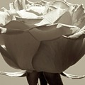 Rose by Shannon Turek