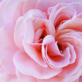 Rose Spiral Art Pink Roses Floral Baslee Troutman by Baslee Troutman