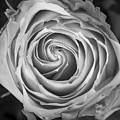 Rose Spiral Black And White by James BO  Insogna