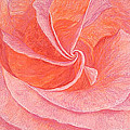 Rose Sprial Pink Fine Art Print Giclee Garden Flower Floral Botanical Love Romance by Baslee Troutman