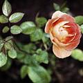 Rose by Stefan Nielsen