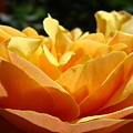 Rose Sunlit Orange Rose Garden 7 Rose Giclee Art Prints Baslee Troutman by Baslee Troutman
