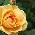 Rose by Teresa Doran