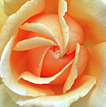 Rose Unfolding by Maria Ollman