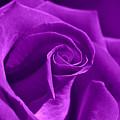 Rose Violet by Violetta Honkisz