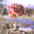 Rose. by Vivian Yeong