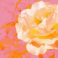 Rose With Pink Background by Sara Graham-Costain
