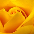Rose Yellow by Rhonda Barrett