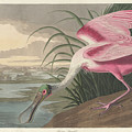 Roseate Spoonbill, 1836  by John James Audubon