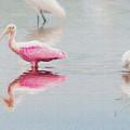 Roseate Spoonbill Eating In A Lagoon by Dan Friend