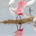 Roseate Spoonbill Flapping Wing While Looking For Food by Dan Friend