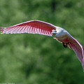Roseate Spoonbill In Flight 2 by Brent Bordelon