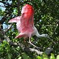 Roseate Spoonbill In Flight by Barbara Bowen