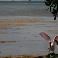 Roseate Spoonbill by Kimberly Mohlenhoff