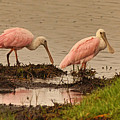 Roseate Spoonbill Pair by Theo O'Connor