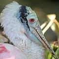Roseate Spoonbill Profile by Carol Groenen