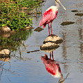 Roseate Spoonbill Reflections by TN Fairey