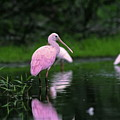 Roseate Spoonbill by Sally Weigand