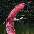 Roseate Spoonbill by Steven Sparks