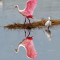 Roseate Spoonbill Stretching Wings by Dan Friend