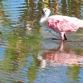 Roseate Spoonbill Young Adult by Barbara Chichester