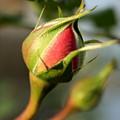 Rosebud  by Anita Hiltz